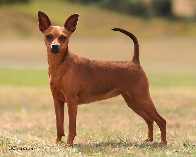 Home for Pincher cucciolo
